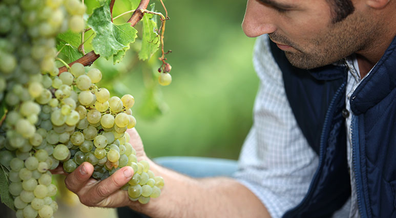 Grapes-Vineyard-773x427.jpg